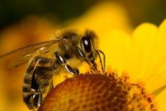 La abeja del primer recoge el néctar Foto de archivo libre de regalías