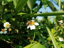 La abeja del vuelo está recogiendo el polen en la flor Foto de archivo