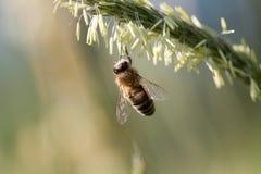 La abeja del vuelo recoge el néctar de hierba floreciente Imagen de archivo