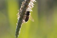 La abeja del vuelo recoge el néctar de hierba floreciente Imágenes de archivo libres de regalías