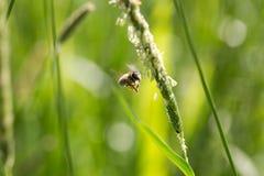 La abeja del vuelo recoge el néctar de hierba floreciente Fotos de archivo libres de regalías