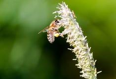La abeja del vuelo recoge el néctar de hierba floreciente Fotos de archivo