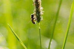 La abeja del vuelo recoge el néctar de hierba floreciente Imagenes de archivo