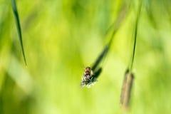 La abeja del vuelo recoge el néctar de hierba floreciente Fotografía de archivo libre de regalías