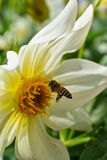 La abeja del vuelo y la flor blanca Fotografía de archivo