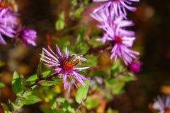 La abeja en aster púrpura goza de Autumn Day Imagenes de archivo