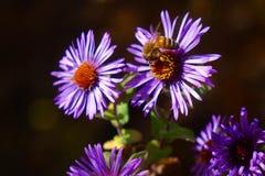 La abeja en aster púrpura goza de Autumn Day Fotografía de archivo libre de regalías