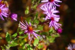 La abeja en aster púrpura goza de Autumn Day Imágenes de archivo libres de regalías