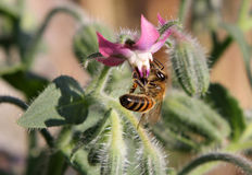 La abeja en borraja florece officinalis del Borago Fotografía de archivo libre de regalías