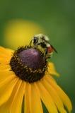 La abeja en Brown observó a Susan Foto de archivo libre de regalías