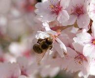 La abeja en cereza de la flor de la primavera Foto de archivo