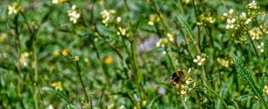La abeja en cierre amarillo de la flor encima de la macro mientras que recogía el polen en verde y amarillo empañó el fondo Imagen de archivo