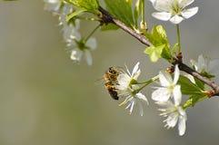 La abeja en el cerezo floreciente adentro puede Foto de archivo
