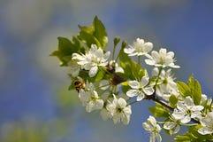La abeja en el cerezo floreciente adentro puede Foto de archivo libre de regalías