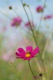 La abeja en el cosmos, aster mexicano florece contra el cielo azul Fotografía de archivo