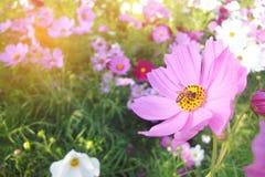 La abeja en el cosmos florece el campo colurful Imagen de archivo