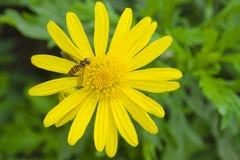 La abeja en el crisantemo Fotos de archivo