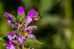 La abeja en el deadnettle Foto de archivo libre de regalías
