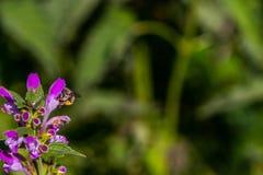 La abeja en el deadnettle Fotografía de archivo libre de regalías