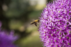 La abeja en el gladiador Allium Netherlands del giganteum del allium de la flor florece Imagen de archivo