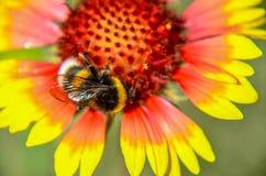 La abeja en el jefe de flor amarillo y anaranjado del rudbeckia negro-observó a susan imagenes de archivo