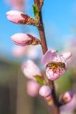 La abeja en el melocotón dulce florece en primavera temprana Fotografía de archivo libre de regalías