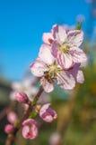 La abeja en el melocotón dulce florece en primavera temprana Fotos de archivo libres de regalías