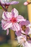 La abeja en el melocotón dulce florece en primavera temprana Imagen de archivo
