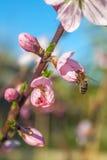 La abeja en el melocotón dulce florece en primavera temprana Imagenes de archivo