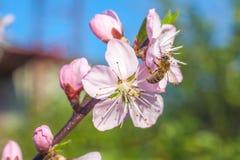 La abeja en el melocotón dulce florece en primavera temprana Foto de archivo