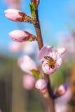 La abeja en el melocotón dulce florece en primavera temprana Foto de archivo libre de regalías
