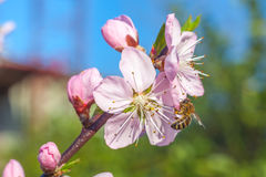 La abeja en el melocotón dulce florece en primavera temprana Imágenes de archivo libres de regalías