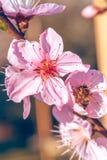 La abeja en el melocotón dulce florece en primavera temprana Fotos de archivo