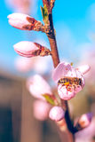 La abeja en el melocotón dulce florece en primavera temprana Fotografía de archivo