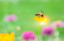 La abeja en el polen de la flor amarilla y el sol se encienden Fotografía de archivo