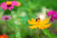 La abeja en el polen de la flor amarilla y el sol se encienden Foto de archivo libre de regalías