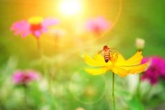 La abeja en el polen de la flor amarilla y el sol se encienden Fotos de archivo libres de regalías