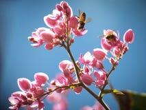 La abeja en el ramo de Coral Vine, enredadera mexicana, cadena del amor florece en árbol Imagen de archivo