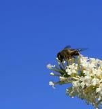 La abeja en el trabajo Imagenes de archivo