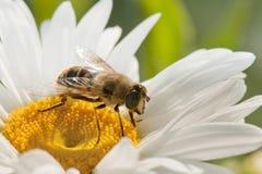 La abeja en flor Fotos de archivo libres de regalías
