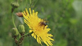 La abeja en la flor amarilla recoge el néctar almacen de metraje de vídeo