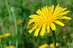 la abeja en la flor busca su néctar Imágenes de archivo libres de regalías