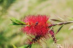 La abeja en la flor Callistemon Arboreto, Sochi Imagen de archivo libre de regalías