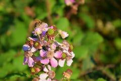 La abeja en la flor de la frambuesa Fotos de archivo libres de regalías