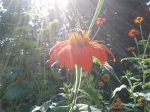 La abeja en la flor en el jardín Fotografía de archivo