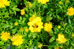 La abeja en la flor, la abeja está buscando el agua dulce de las flores Fotografía de archivo libre de regalías