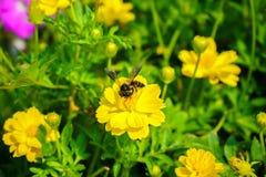 La abeja en la flor, florece la floración amarilla en el jardín Foto de archivo libre de regalías