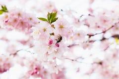 La abeja en flores de cerezo en la primavera, parte posterior se encendió del sol Imagen de archivo libre de regalías