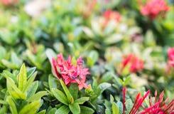 La abeja en Ixora rojo florece en el jardín Imágenes de archivo libres de regalías
