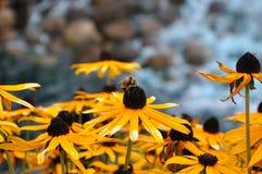La abeja en la flor Fotos de archivo libres de regalías